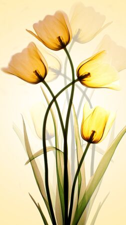 Yellow translucent tulips reflected by yellow light on a white wall