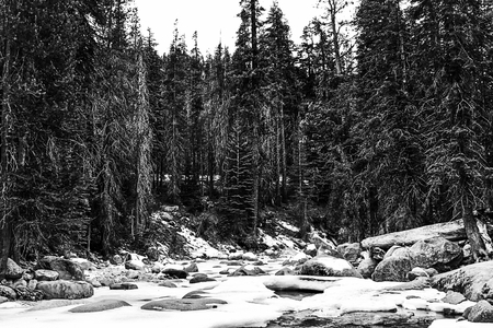 white winter: forest in the winter at Sequoia national park, USA in black and white