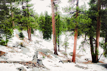 palm springs: Snow in the forest with pine trees at Palm Springs Aerial Tramway, USA Stock Photo