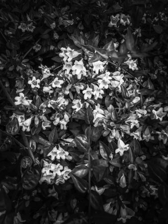 blooming flowers background in black and white