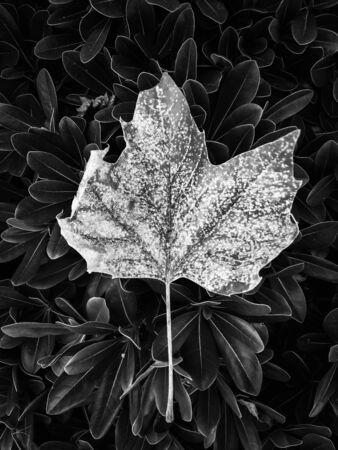 closeup leaves texture in black and white Zdjęcie Seryjne