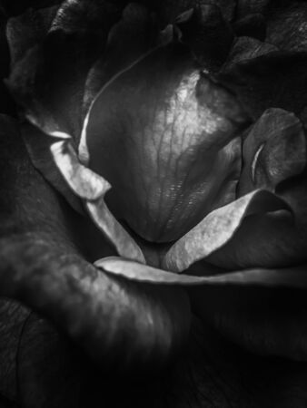closeup rose background in black and white