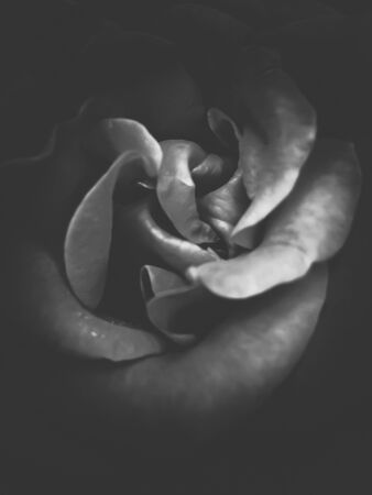blooming rose texture abstract in black and white