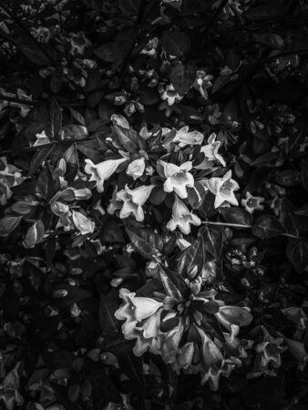 blooming flowers in black and white Zdjęcie Seryjne