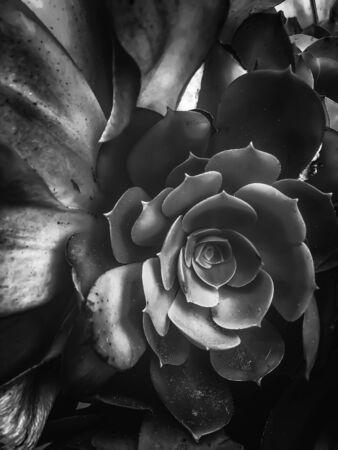 closeup succulent plant in black and white Zdjęcie Seryjne