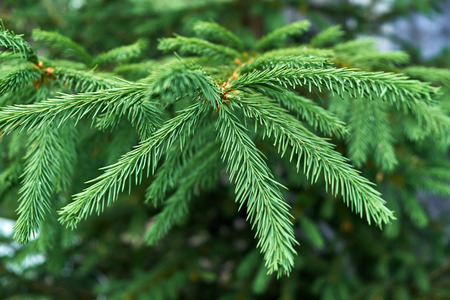Branch of young spruce with sticky droplets on needles