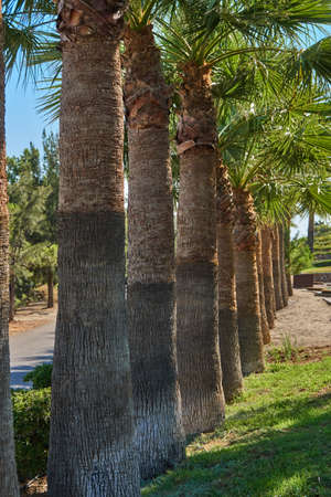 Thick trunks of palm trees growing along the road Stock Photo