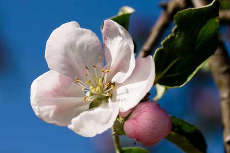 blossom Stock Photo - 12809362