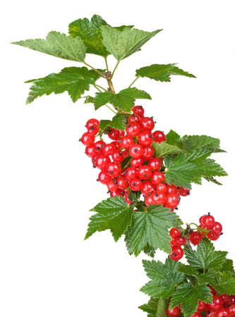 red currant: red currant