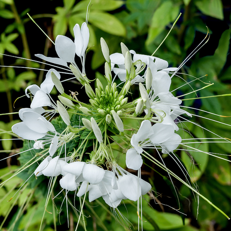 amazing stunning: Closeup of a Beautiful White Cleome Blossom