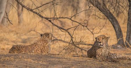 Cheetah in the Kalahari desert, Namibia, Africa