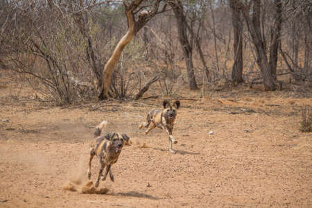 Close to african wild dogs in the dry kalahari desert in Namibia, Africa