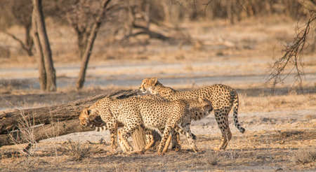 Cheetahs walking and standing in the grassland of the savanna in the Etosha national park in Namibia, Africa Stock Photo