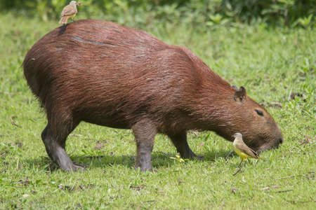 A capybara is walking through the grass and eating in the Pantanal in Brazil, South America