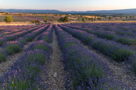 Purple lanes of lavender in the provence in France, Europe