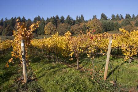 Vineyard in Oregon Stock fotó - 26875310
