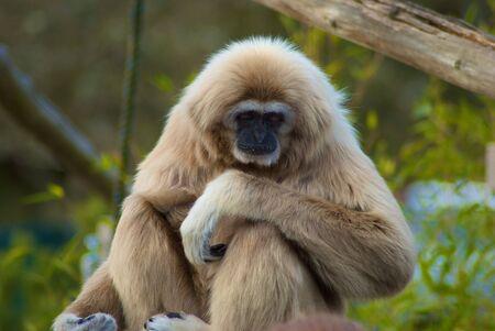 White faced Gibbon Stock Photo
