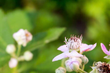 blackberry bush: Flower