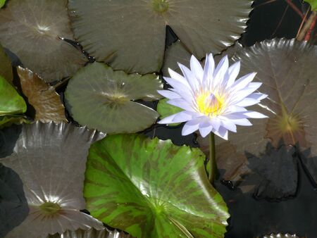 Water Lilly Stock Photo - 13922222