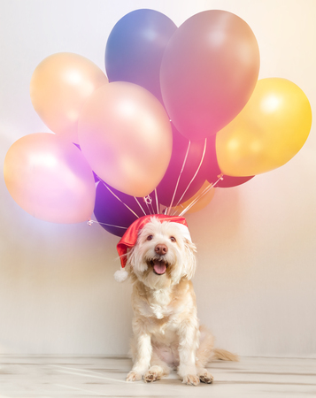 Pet in New Year cap with inflatable balls. Balloons happy new year. Merry Christmas greeting card. Year yellow dog. Colored balloon Stok Fotoğraf