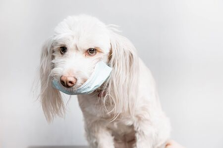 Beautiful white dog in medical mask. Covid-19 prevention concept. Pet in surgical medical mask, prevention coronavirus Stockfoto