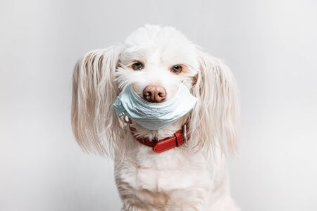 Beautiful white dog in medical mask. Covid-19 prevention concept. Pet in surgical medical mask, prevention coronavirus Stock Photo