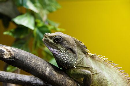 Iguana sits on a tree branch in a zoo.
