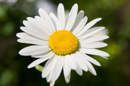 Camomile flower macro