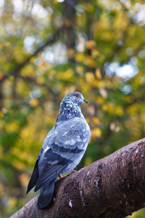 Pigeon on tree branch with leaves. Bird. Stock Photo