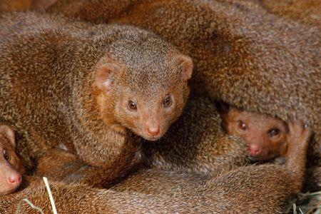 Mongooses, cubs. Stock Photo