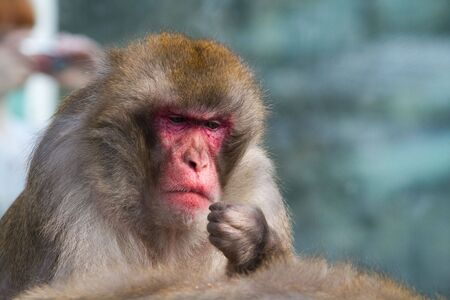 Monkey in a zoo. Keeps a hand in the face of. Eats, thinking.