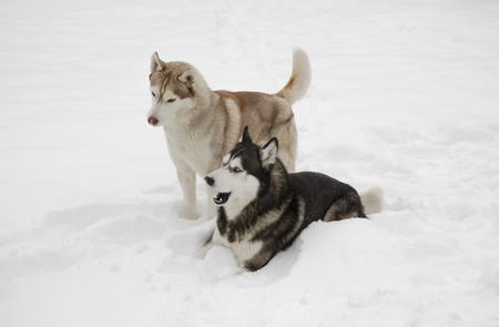 two couple husky snow winter beautiful proud animal wild dog wolf Stock Photo