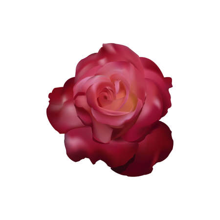 Red rose vector Stock Photo - 12860184