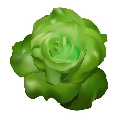 green rose  background white illustration elegant Stock Photo