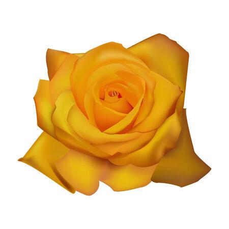 rose yellow white background vector illustration Illustration
