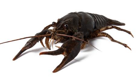 Crayfish isolated on white background photo