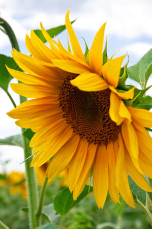 beautiful sunflower with green leaves photo