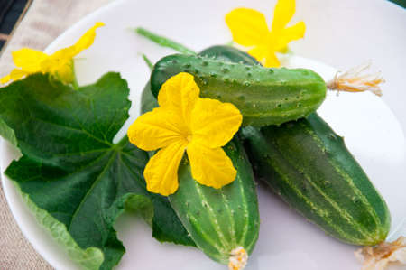 Yellow flowers, cucumbers and green leaves. photo