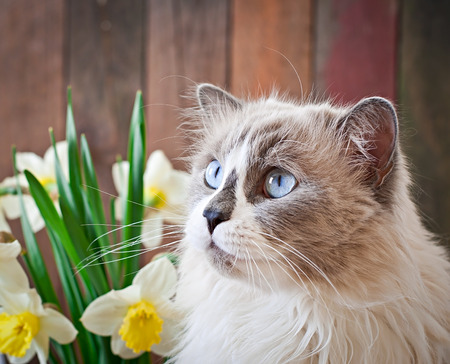 ragdoll: Ragdoll cat breed and a vase of narcissus on a wooden background
