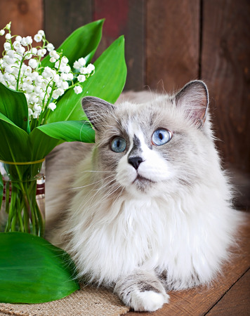 ragdoll: Ragdoll cat breed and a vase of lilies of the valley on a wooden background