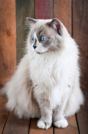 ragdoll: Ragdoll cat breed on a wooden background Stock Photo