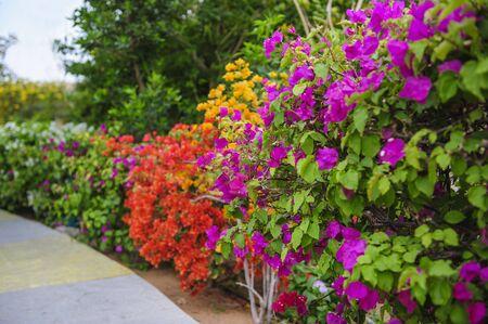 bougainvillea flowers: Colorful bougainvillea flowers