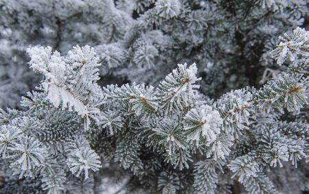 firs: Background of Christmas firs frost Stock Photo