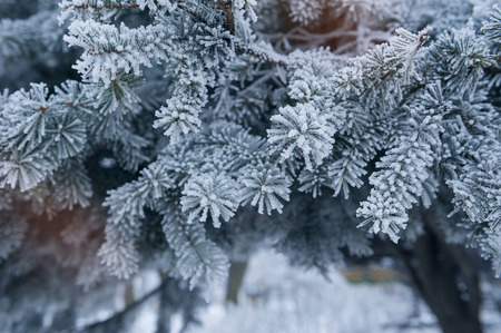 hoar: Pine tree covered with hoar frost close-up