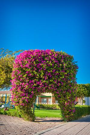 jardines con flores: exótico arco de flores buganvillas.