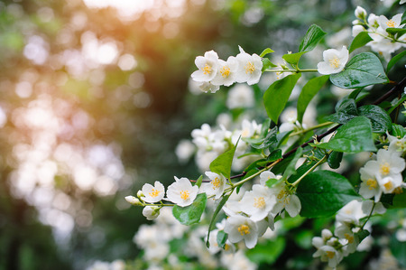 flower of life: jasmine spring flowers with raindrops.