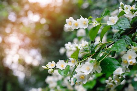 jardines con flores: jazmín flores de primavera con gotas de lluvia.