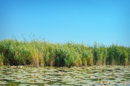 rushy: leaves and reeds on the river. Stock Photo