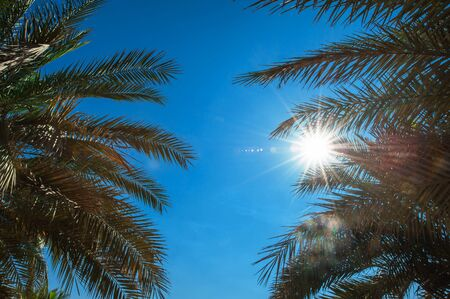 palmate: Palm leaves against the blue sky. Stock Photo