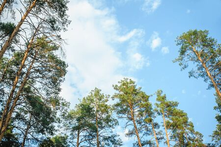 directly below: view of pine trees from below.